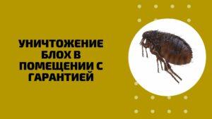 Уничтожение блох в Перми цены отзывы