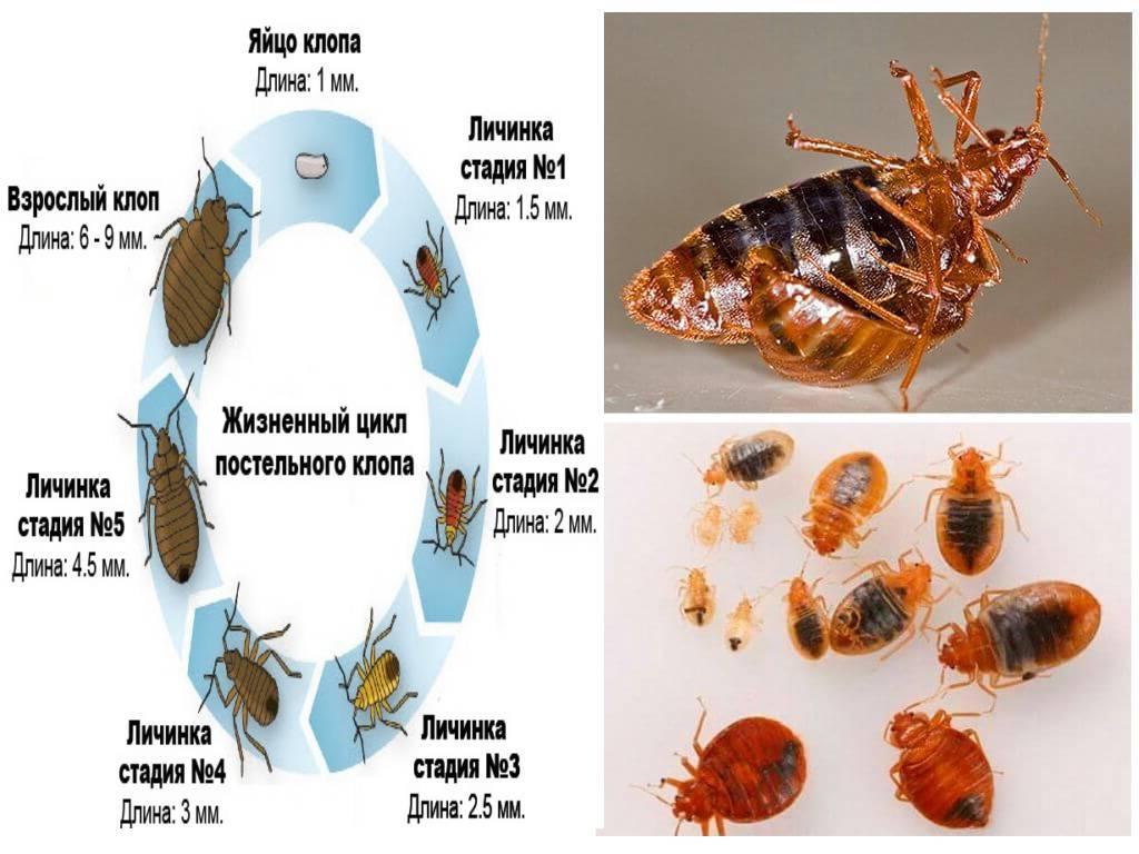 Цикл размножения постельных клопов